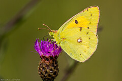 Clouded Yellow Butterfly (Colias croceus) (BiteYourBum.Com Photography) Tags: uk greatbritain blue england apple yellow butterfly downs worthing westsussex unitedkingdom south gb canonef1740mmf4lusm southdowns allrightsreserved clouded ipad downland coliascroceus cloudedyellow focusstacking macpro canonefs60mmf28macrousm biteyourbum cloudedyellowbutterfly canoneos7d appleipad lrenfuse dawnandjim canonspeedlite430exii southdownsnationalpark sigma50500mmf4563dgoshsm loweproprorunner350aw lightroom5 steyningdownlandscheme biteyourbumcom dawnjim camranger copyright©2015biteyourbumcom copyright©biteyourbumcom