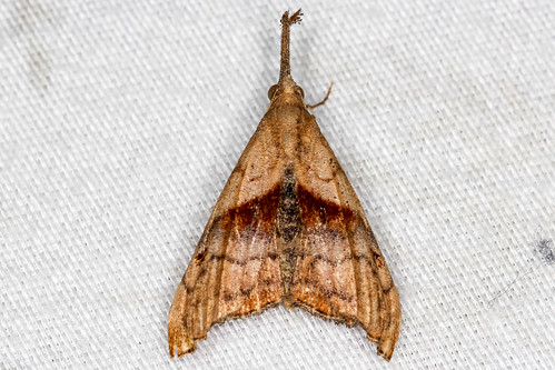 Palthis angulalis - Dark-spotted Palthis - Hodges#8397