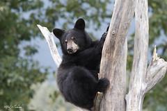 Black Bear Cub (Alfred J. Lockwood Photography) Tags: alfredjlockwood nature wildlife bear blackbear cub tree alaska noon overcast alaskawildlifeconservationcenter portage summer cute