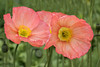 Poppies (_C7D3743) (matxutca (cindy)) Tags: livermore california poppies orange flower nature
