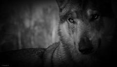 terra sconosciuta (Pilouchy) Tags: terra sconosciuta monochrome terre blackandwhite wild lumiere eyes yeux regard nature animal bellissima bella wood wolf free life vie