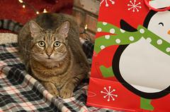 Sweet Parker puss (tehchix0r) Tags: cat cats kitty kitties cute cutecat cutekitty christmas holiday tabby christmascat holidaycat