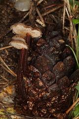 Auriscalpium vulgare, l'hydne cure-oreille (3) (chug14) Tags: champignon mycologie auriscalpiumvulgare hydnumauriscalpium cureoreille auriscalpiaceae hydnecureoreille