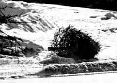 Discarded 1/11/17 (dianecordell) Tags: discarded trash christmastree january quotes queensburyny consumers winter snow shadows branches ice