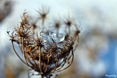 (maren_key) Tags: winter macro ice nature flower platinumheartaward