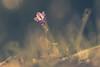 in der Abendsonne... (Sascha Wolf) Tags: glockenblume sonnen abendsonne wiese gras warm bokeh blume flower