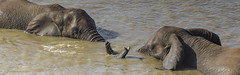 Let's Dance (philnewton928) Tags: africanelephants elephants loxodontaafricana mammal animal animalplanet wild wildlife nature natural shingwedzi river kruger krugernationalpark africa southafrica outdoor outdoors safari nikon nikond7200 d7200