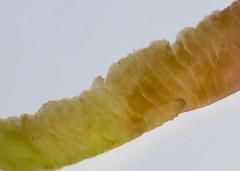 Apple Peel Close Up (londonlass16 LRPS CPAGB) Tags: 23365 365 apple applepeel peel lines structure canon canonef100mmf28lmacroisusmlens macro closeup 365the2017edition 3652017 day23365 23jan17 macromondays