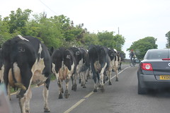 IMG_3041 (avsfan1321) Tags: ireland countykerry cow cows irishtrafficjam road