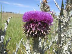 Onopordum illyricum flowerhead5 CWS (Macleay Grass Man) Tags: asteraceae onopordum illyricum taxonomy:binomial=onopordumillyricum illyrian thistle
