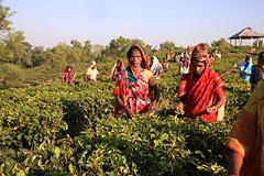 C1_2016-161398 (HamimCHOWDHURY  [Read my profile before you fol) Tags: teagardenportrait girlnature tealeaf workingwomen