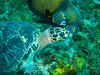 Turtle titbits (nick_nack_) Tags: palancargardens canons90 reef diving scuba cozumel frenchangelfish angelfish turtle
