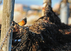 (Eastern) Black Redstart (Phoenicurus ochruros phoenicuroides) Svart rödstjärt (Peter Berglin Jönköping Sweden) Tags: fåglar svenskafåglar tättingar trastfåglar skåne svrödstjärt