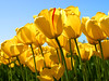 Tulips (khozamaalead) Tags: kh