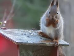 (Rodentia: Sciuridae) Sciurus vulgaris, Ekorre / Red squirrel (holgeric77) Tags: rodentia sciuridae sciurusvulgaris