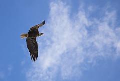 Fly by (jeffgauld) Tags: eagle bird baldeagle capebreton canada canoneos6d soar fly novascotia