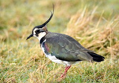 Lapwing in the wind. (pstone646) Tags: lapwing bird nature animal closeup elmley kent fauna wildlife