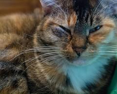 Kizzy (Photographs By Wade) Tags: skiatook oklahoma kizzy kizmet cat pet kitty feline sleepy nap naptime eyes
