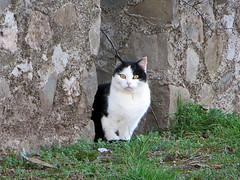 IMG_2522 cat (pinktigger) Tags: cat kitty feline pet blackwhite outdoor animal ruby5 ruby10