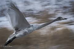 Flying Swan (shin4433) Tags: flying swan nikond500 bird nature followthrough