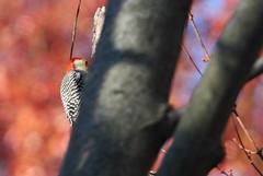 Red-bellied woodpecker in Staten Island, New York, USA. November, 2016 (Tom Turner - SeaTeamImages / AirTeamImages) Tags: melanerpescarolinus redbelliedwoodpecker woodpecker bird birding birdwatching nature wildlife feathered featheredfriend winged statenisland tomturner newyork nyc bigapple usa unitedstates