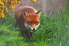 The Grass Is Always Greener...... (law_keven) Tags: fox foxes redfox lingfield uk england animals wildlife britishwildlifecentre photography wildlifephotography vulpesvulpes surrey grass green yellow