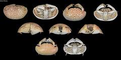 Calappa calappa (Linnaeus, 1758) (GaboUruguay) Tags: crabe pinza crostacei decapodi chele arthropod カニ καβούρι cranc krabo কাঁকড়া kepiting סרטן gaforre 蟹 cua krabba krabi કરચલો krabbi yencək portán krabbe ketam tarisznyarák taskurapu خرچنگ granċ krab நண்டு ಏಡಿ krabas краб alimasag rak рак cancer pajek krabis favme animalia arthropoda crustacea malacostraca decapoda brachyura calappidae calappa crab cangrejo crustaceo domeshaped canon sx50 powershot marino marine animal specimen philippines bulky carapace chelae claw shamefacedcrab boxcrab macrofotografía smoothboxcrab redspottedboxcrab indopacific mottled dots fondonegro blackbackground