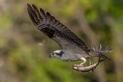 Osprey with catch (Vic Zigmont) Tags: birdinflight opspreywithprey raptor osprey ospreywithfish