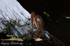 Kaloula pulchra (Evgeny Kotelevsky) Tags: kaloula pulchra microhylidae frog amphibian herpetology
