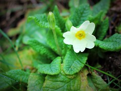 First Wild Primrose (JulieK (thanks for 6 million views)) Tags: wildprimrose flower bloom yellow green leaves spring nature garden flora canoneos100d wexford ireland irish beautiful petals 100flowers2017