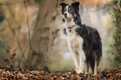 Kai. (a nice pose) (alfie-p) Tags: pet dog bordercollie workingsheepdog canine animal