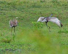 F4K_9737 (68photobug) Tags: usa nikon florida reserve sigma cranes wetlands marsh preserve lakeland sanctuary sandhillcranes refuge polkcounty wildlifemanagement outmybackdoor 150500mm d7000 68photobug