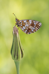 Boloria selene (Prajzner) Tags: morning macro nature butterfly insect nikon bokeh sigma poland naturallight lepidoptera manfrotto insecta sigma105mmmacro boloriaselene subcarpathia nikond7100 prajzner