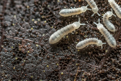 Collembola-Springtails (affectatio) Tags: macro bug insect metz springtail hexapod springtails mpe65 collembola mecablitz 15ms1