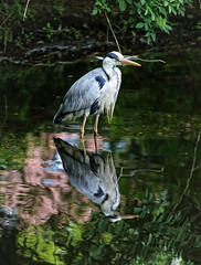 Wet Feet (Andy von der Wurm) Tags: lake reflection bird heron nature water animal fauna germany deutschland see pond wasser europa europe outdoor wildlife alemania teich allemagne tier vogel reflektion greyheron fischreiher graureiher wetfeet hobbyphotograph nassefse nassefuesse andreasfucke andyvonderwurm