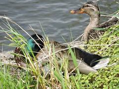 Mallards Ducks - Canards-Colvert.........11 Juin 2015.........DSCN1874 (Diane.G.) Tags: ducks mothernature mallards canards coth specanimal colverts avianexcellence sacrednature naturescarousel myhatsofftoyou dmslair eblouissantenature lesamisduparcdesrapides thesunshinegroup