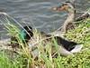Mallards Ducks - Canards-Colvert.........11 Juin 2015.........DSCN1874 (Diane.G.) Tags: mallards colverts ducks canards specanimal avianexcellence thesunshinegroup dmslair naturescarousel sacrednature eblouissantenature coth lesamisduparcdesrapides myhatsofftoyou mothernature damniwishidtakenthat