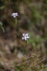 Dianthus (esta_ahi) Tags: barcelona españa flores spain flora flor dianthus penedès caryophyllaceae silvestres clavellina olèrdola испания