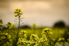 If People Are Trying To Bring You Down, It Only Means That You Are Above Them (_Natasa_) Tags: flowers nature field yellow closeup canon dof derbyshire derby yellowflowers rapeseed canoneos7d canonef100mmf28lmacroisusm natasaopacic natasaopacicphotography