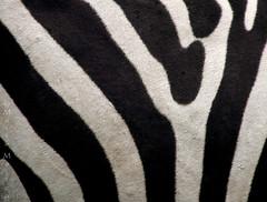 Rayas (Maite Mojica) Tags: rayas animal caballo cantabria africano cebra cabrceno frica rayado