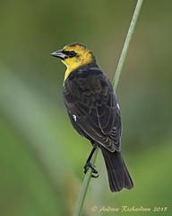Yellow-headed Blackbird (Andrew's Wildlife) Tags: blackbird yellowheaded