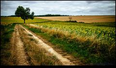 150719-1704-EOSM.jpg (hopeless128) Tags: road sky france tree sunflowers eurotrip fr lonetree 2015 poitoucharentes poursac