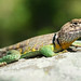 Eastern Collared Lizard, Male