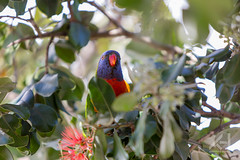 Hey there! (eagleseyes) Tags: blue red tree green yellow rainbow colorful wildlife sydney parrot australia australien papagei loris