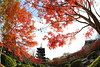 Autumn red in Kyoto (Teruhide Tomori) Tags: 15mmfisheyelens kyoto red kayedemaple autumn toji pagoda temple architecture construction building woodenarchitecture japon japan eos5dmarkⅲ canon garden worldheritage 東寺 京都 日本 教王護国寺 秋 紅葉 モミジ 庭 五重塔 庭園 寺院 寺社建築 木造建築 赤 tree plant