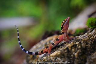 Portrait: Langkawi Island Bent-toed Gecko
