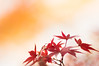 nobility (hitohira_) Tags: flower flowers n ature nature b bokeh leaves maple