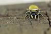 Saltique (olivier-richardet.com) Tags: animal arachnide salticidé saltique{heliophanusaeneus} wwworch saintcergue vaud suisse ch