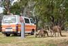 Kaenguru-Familie auf dem Campingplatz (bayernphoto) Tags: kangaroo family kaenguru australien western australia westaustralien denmark campingplatz campground campervan wohnmobil zelt tent camping roo mother father parents joey baby kleines mutter vater tier