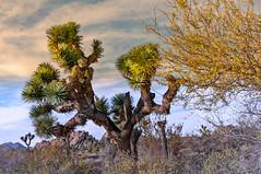 Joshua Tree in Glolden Hour light (booster90017) Tags: yucca joshuatree national park ngo ngc joshua tree golden hour desert sand big rocks
